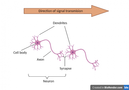 Figure 1: Structure of a neuron. Axon carries messages away from the cell body to the dendrites of another neuron that receive the messages. Axons and dendrites are collectively called neurites.
