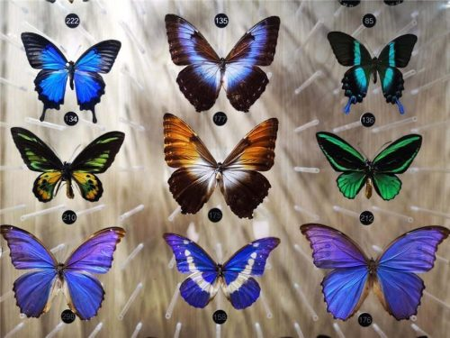 Figure 1 Colours in butterflies. The purple, blue, and green colours on these butterflies are all produced using structural means. From http://www.ecns.cn/hd/2018/05/23/f0db2f678f7643fb80ccf2ecbce17411.jpg
